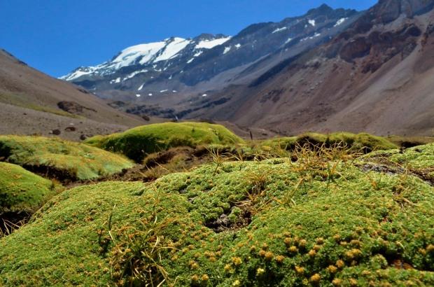 yareta, llareta, chile, plomo, piedra numerada, Azorella compacta, wetland, andes mountains